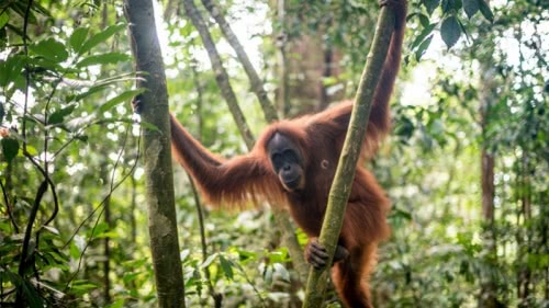 The Orang Utan Coffee Project live on RAI